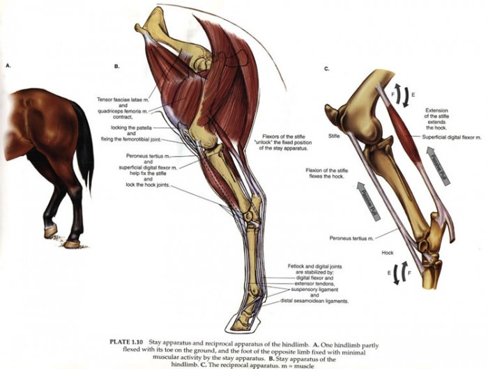 Equine Science For Equine Professionals Rupture Of The
